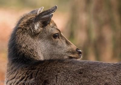 Over the shoulder Deer