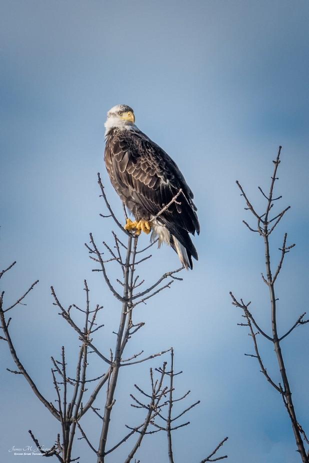Regal Perch by jamesjohnston_3471 - Majestic Eagles Photo Contest