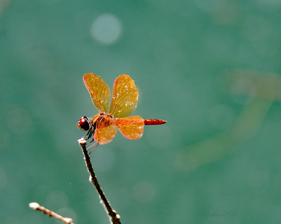 Amber/orange wings make this a very showy little dragonfly.  The blue-green water in the backgrou...