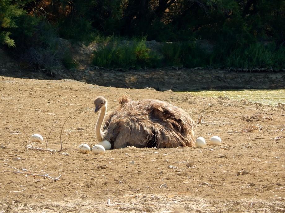 Ostrich in Sigean African Reserve