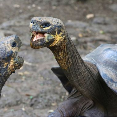 Dueling giant tortoises of the Galapagos Islands!