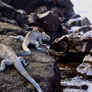 Marine iguanas of the Galapagos Islands, Ecuador!