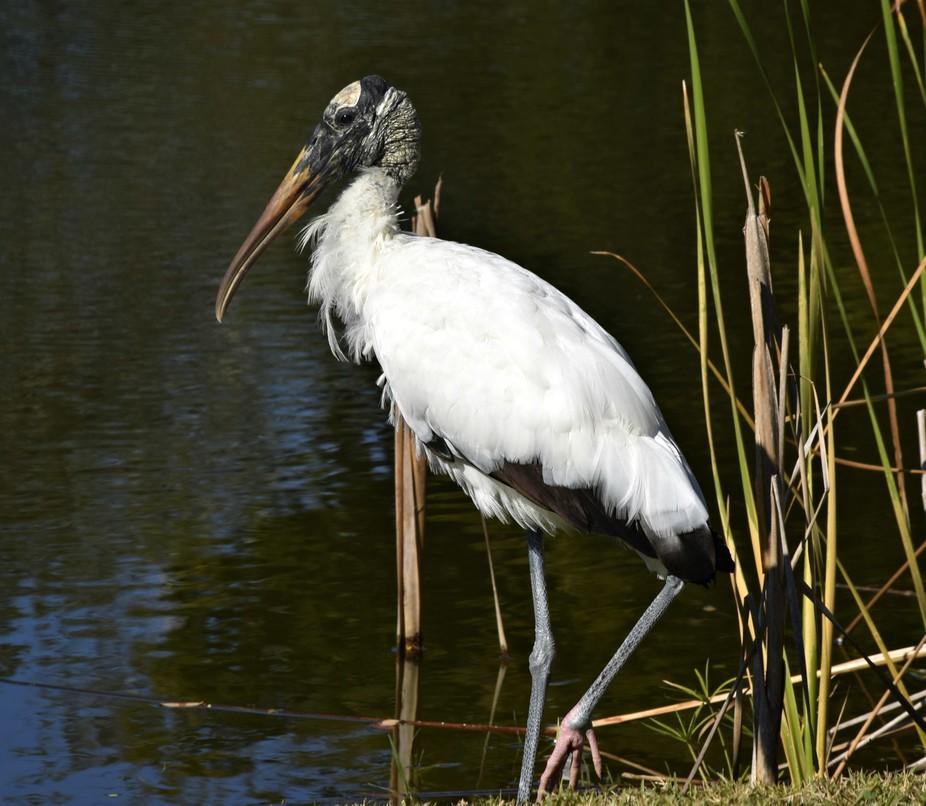 Stork in reeds