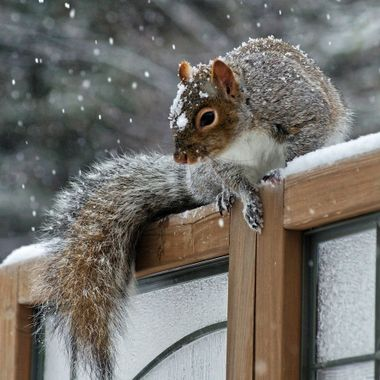 A grey squirrel on a wooden fence on a snowy winter day.