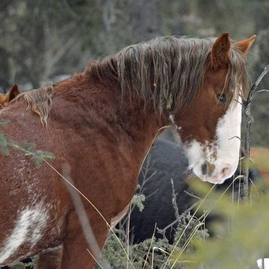 Wild horse east of Nordegg, Alberta, January 7, 2018.  He was trying to scratch his face on that little branch, and not having much luck!