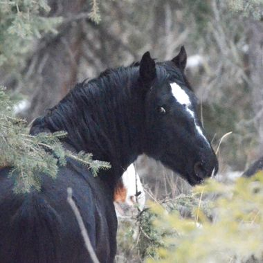 This gorgeous black yearling wild horse was leery of me being behind him, even though I was a distance away (taken with a 300mm lens). Part of one of the wild horse herds east of Nordegg, January 7, 2018