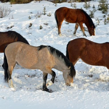 These mares and yearling are part of the herd that the dun stallion oversees.  I watched them paw through the snow to try to get some grass.