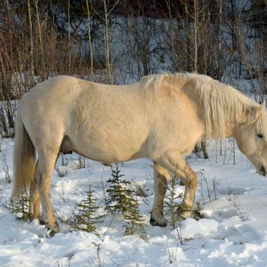 This is a gorgeous dun wild stallion, in great shape ( the rest of his herd are as well!), pawing to get some grass