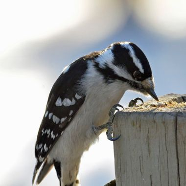This is a female downy woodpecker, which looks very similar to the hairy woodpecker.  The downy is much smaller, with a shorter beak.