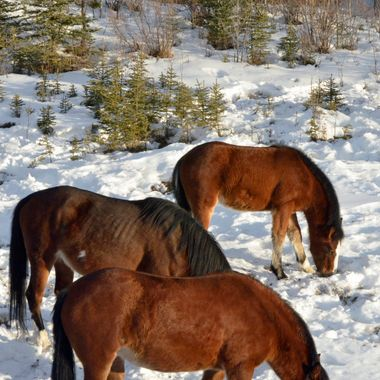 I spent quite a while watching this herd of wild horses, east of Nordegg, Alberta.