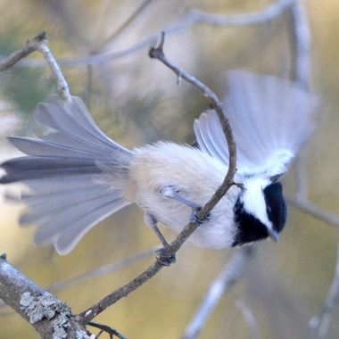 Taking Flight-Black Capped Chickadee