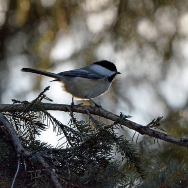 Backlit Black Capped Chickadee
