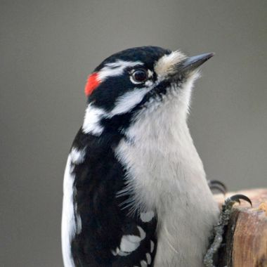 Male Downy Woodpecker closeup