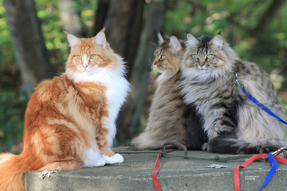 Our 3 Maine Coon kittens.  Not 2 yet, still 1 to 2 years of growing to go.  Watching the birds in...