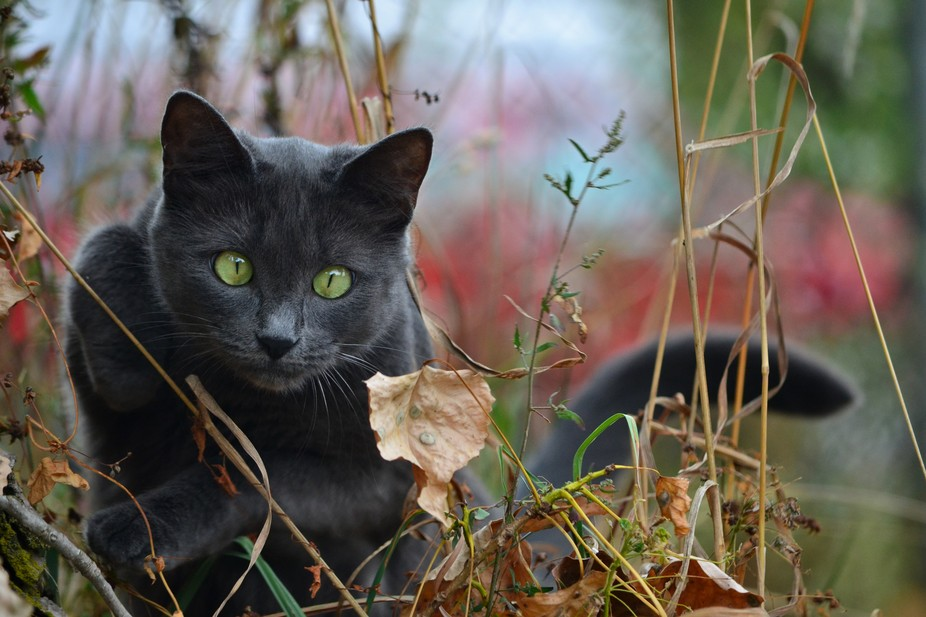 This young cat is very cautions, but cannot wait to explore.  She loves to go on nature walks wit...