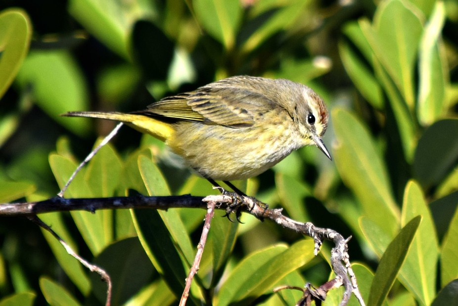 Little yellow tail bird