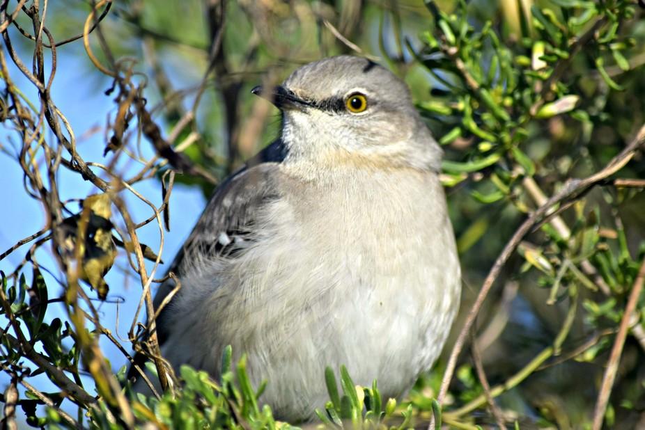 Northern Mockingbird?