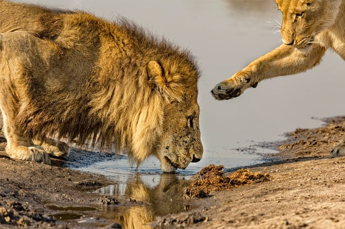 Lion Affection by KayBrewer - Wildlife And Water Photo Contest