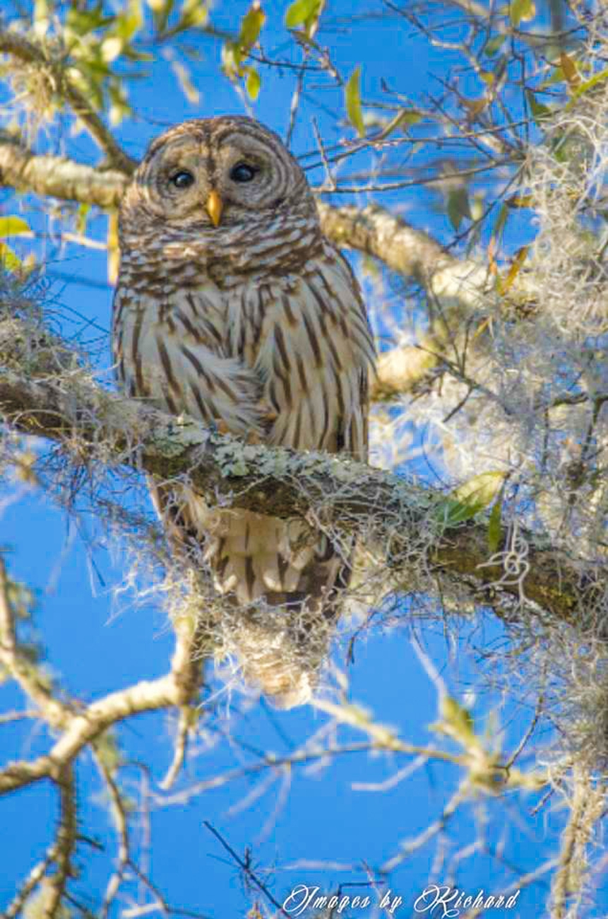 Barred Owl at Alafia Park, Florida