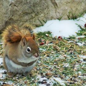 This sweet little red squirrel has been visiting my backyard for food. He had competition today when he was chased by the big black squirrels he ...