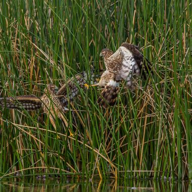Northern Harriers fighting for prey that was dropped in the water just inside the reeds.