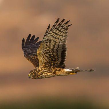 Nothern Harrier-5443