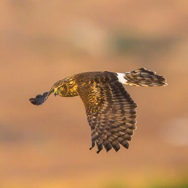 Nothern Harrier-5442