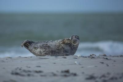 waving baby seal