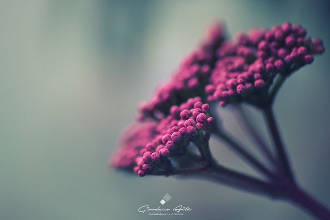 Pink Winter flower  by giordanoaita - Shades Of Purple Project