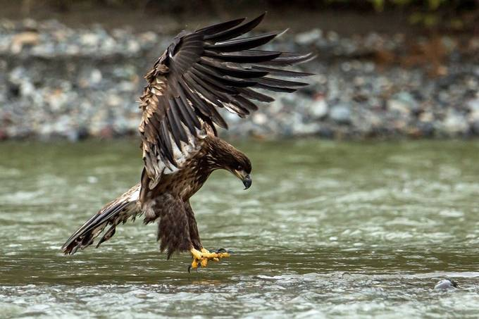 Fishing.....? by petefreund - Majestic Eagles Photo Contest