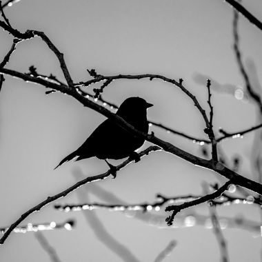 Little Brown Bird Silhouette