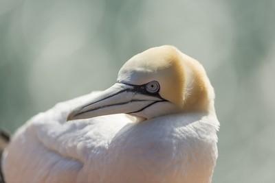 Northern gannet - portrait