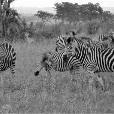 Zebras III