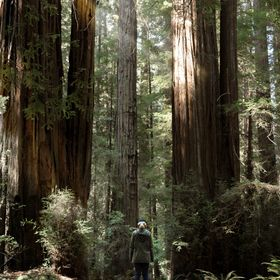 Walking with massive redwoods.