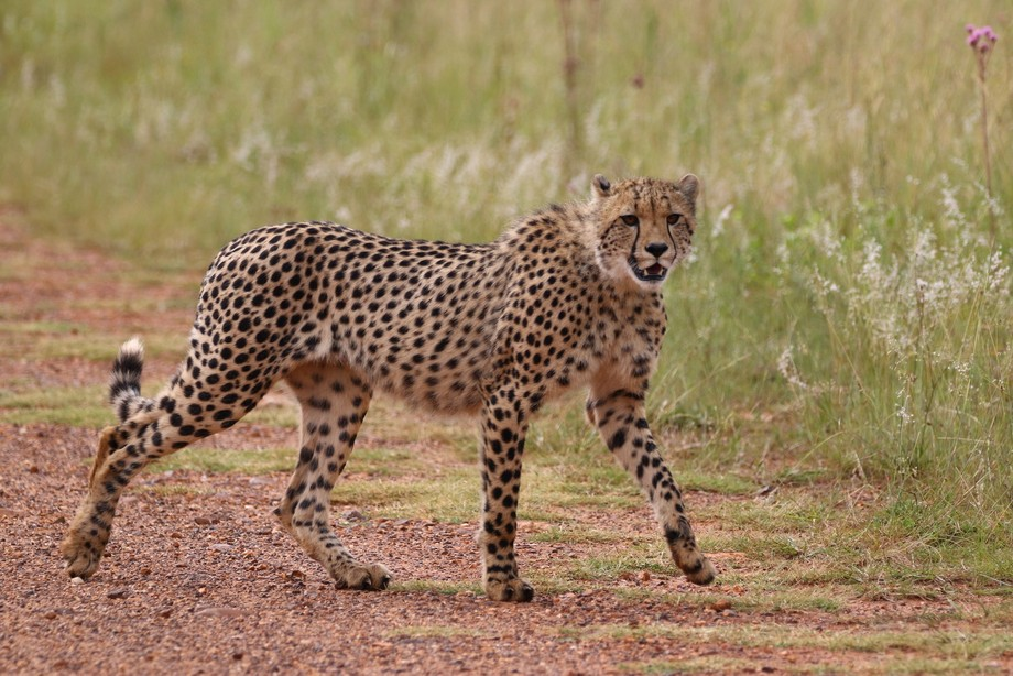 Image of a juvenile cheetah at Rietvlei Nature Reserve, Pretoria, South Africa. I was fortunate t...