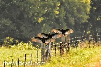 Warming Vultures