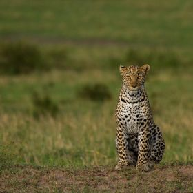 This leopard was on the move on the open plains of the Maasai Mara. I was extremely happy with this leopard sighting. It's such a beautiful ...
