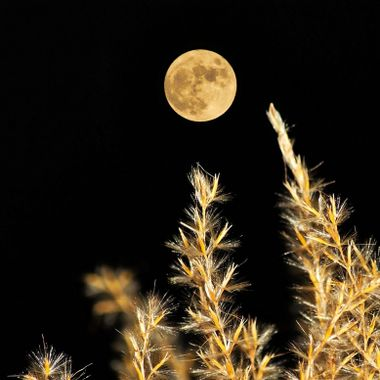 The full moon rising over fountain grass.