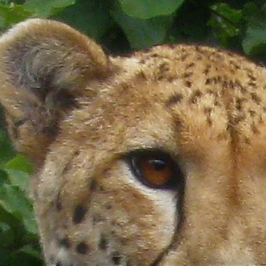 Cheetah eyes