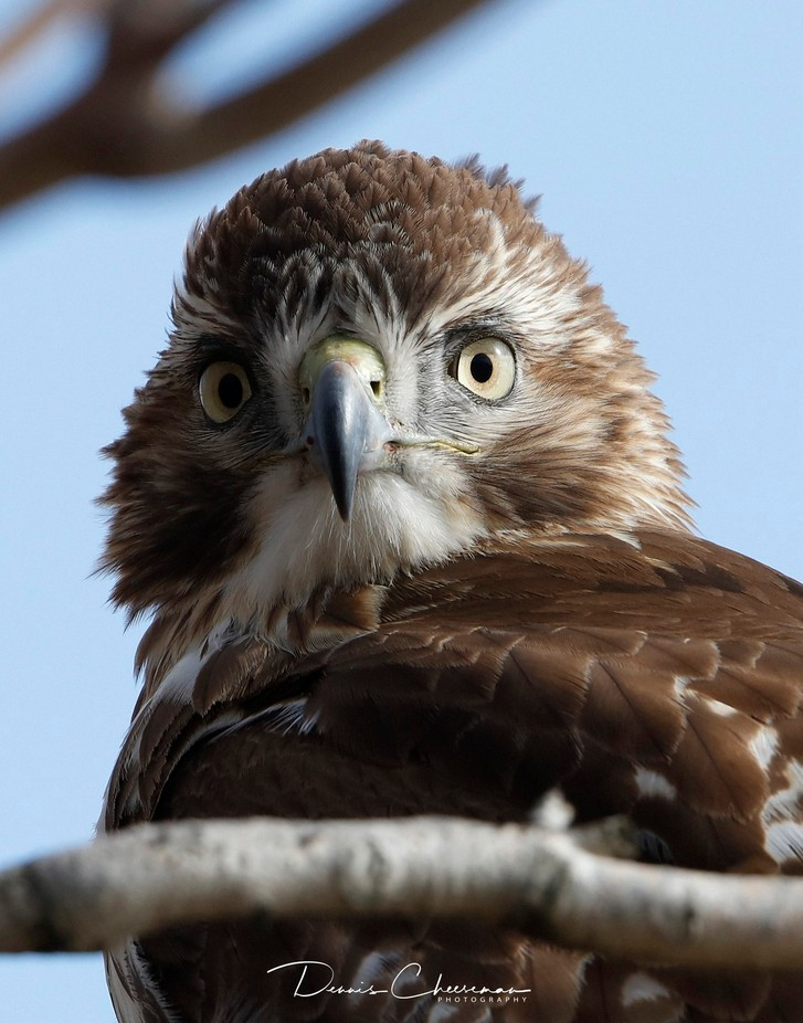 Red Tailed Hawk by dennischeeseman - Image Of The Month Photo Contest Vol 29