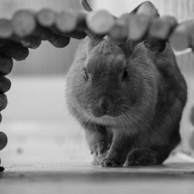 my pet bunny shot through her wooden tunnel black and white