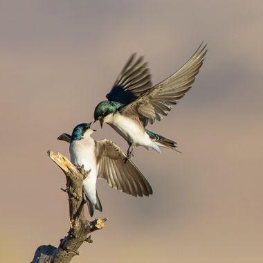 Tree Swallow-4143