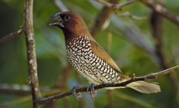 From Wikipedia, the free encyclopedia:  The scaly-breasted munia or spotted munia (Lonchura punctulata), known in the pet trade as nutmeg mannikin or spice finch, is a sparrow-sized estrildid finch native to tropical Asia. A species of the genus Lonchura, it was formally described and named by Carl Linnaeus in 1758. Its name is based on the distinct scale-like feather markings on the breast and belly. The adult is brown above and has a dark conical bill. The species has 11 subspecies across their range and differ slightly in size and colour.  This munia eats mainly grass seeds apart from berries and small insects. They forage in flocks and communicate with soft calls and whistles. The species is highly social and may sometimes roost with other species of munias. This species is found in tropical plains and grasslands. Breeding pairs construct dome-shaped nests using grass or bamboo leaves.  The species is endemic to Asia and occurs from India and Sri Lanka east to Indonesia and the Philippines (where it is called mayang pakíng). It has been introduced into many other parts of the world and feral populations have established in Puerto Rico and Hispaniola as well as parts of Australia and the United States of America. The bird is listed as of Least Concern by the International Union for Conservation of Nature (IUCN).  Taxonomy[edit] The scaly-breasted munia was one of the many bird species originally described by Carl Linnaeus in the 1758 10th edition of his Systema Naturae, where it was given the binomial name of Loxia punctulata. Sykes assigned it to the genus Lonchura in the combination Lonchura punctulata in 1823.[2]  Subspecies[edit] Over its range the scaly-breasted munia has been assigned to 11 generally accepted subspecies. These include the nominate form found in the plains of the Indian Subcontinent, including Pakistan, India, Nepal, Bangladesh and Sri Lanka. The name lineoventer was formerly used for the Indian population. Other populations include subundul