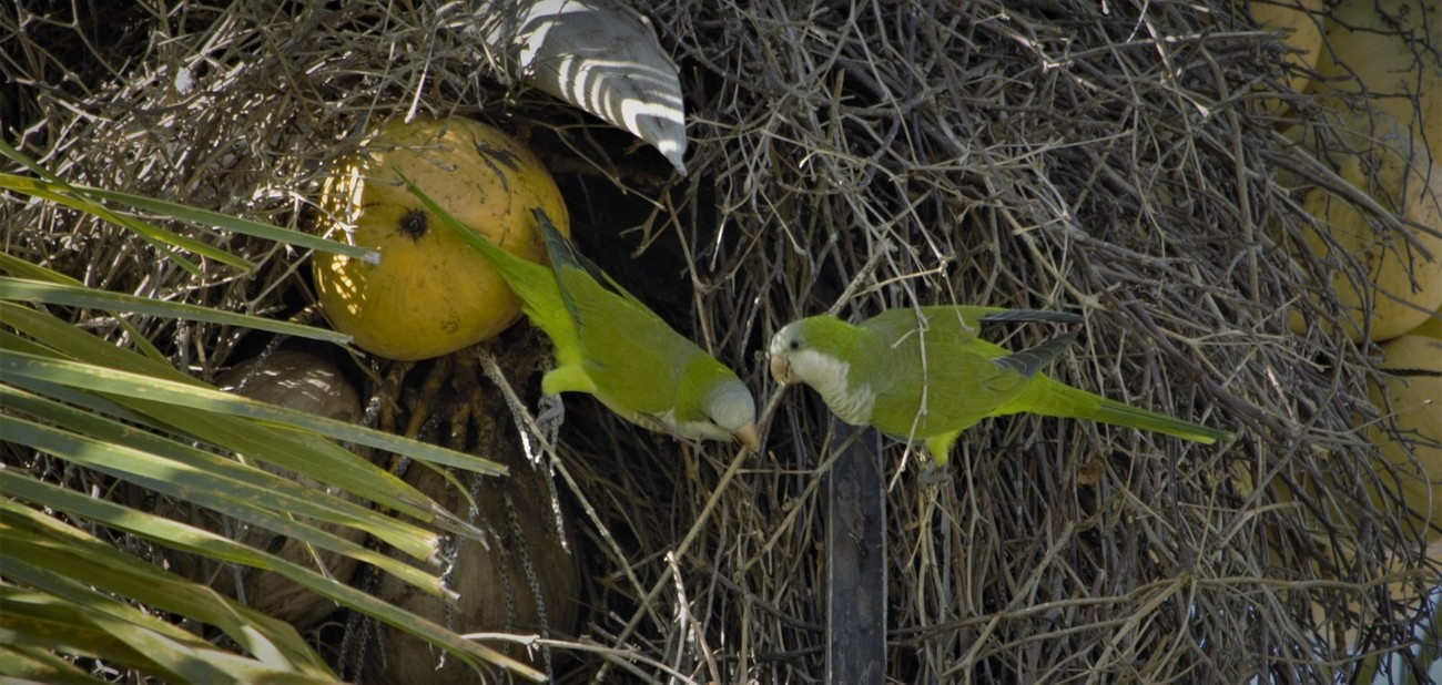 """Monk Parakeets From Wikipedia, the free encyclopedia: The monk parakeet (Myiopsitta monachus), also known as the Quaker parrot, is a small, bright-green parrot with a greyish breast and greenish-yellow abdomen. In most taxonomies, it is classified as the only member of the genus Myiopsitta. It originates from the temperate to subtropical areas of Argentina and the surrounding countries in South America. Self-sustaining feral populations occur in many places, mainly in North America and Europe. Description[edit]  Female pet monk parakeet The nominate subspecies of this parakeet is 29 cm (11 in) long on average, with a 48 cm (19 in) wingspan, and weighs 100 g (3.5 oz). Females tend to be 10–20% smaller, but can only be reliably sexed by DNA or feather testing. It has bright-green upperparts. The forehead and breast are pale gray with darker scalloping and the rest of the underparts are very light-green to yellow. The remiges are dark blue, and the tail is long and tapering. The bill is orange. The call is a loud and throaty chape(-yee) or quak quaki quak-wi quarr, and screeches skveet.[2][3]  Domestic breeds in colors other than the natural plumage have been produced. These include birds with white, blue, and yellow in place of green. As such coloration provides less camouflage, feral birds are usually of wild-type coloration.  Systematics and taxonomy[edit] Myiopsitta monachus is usually the only widely accepted member of the genus Myiopsitta. However, the cliff parakeet is sometimes considered a distinct species.[2] The cliff parakeet's altitudinal range apparently does not overlap, and that it is thus entirely, but just barely, allopatric.[3] The American Ornithological Society has deferred recognizing the cliff parakeet as distinct """"because of insufficient published data"""".[4]  Three subspecies are recognized:[2][3]  M. m. monachus (Boddaert, 1783) – Argentina from southeastern Santiago del Estero Province throughout the Río Salado and lower Paraná basins to Buenos"""