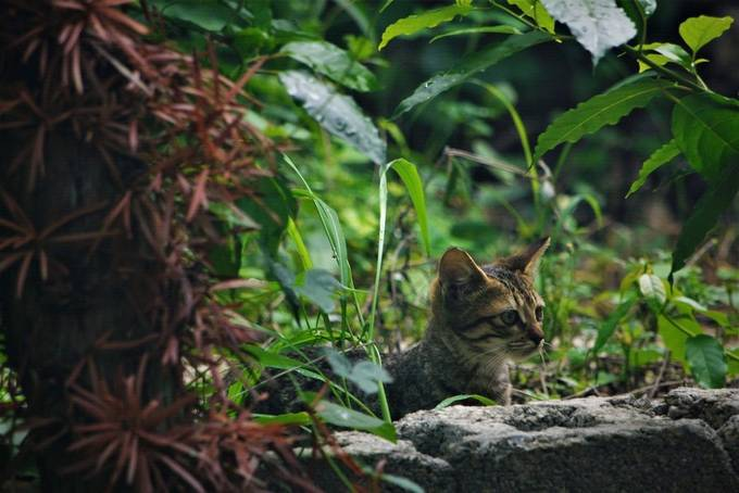 This very young cat is developing his hunter's skills and is waiting patiently for the attack.