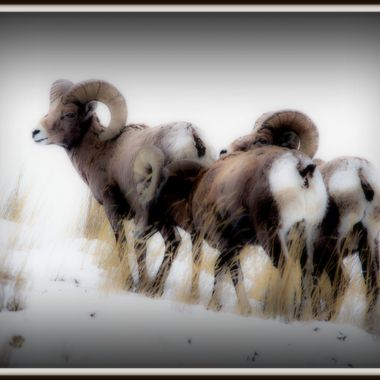 Three Bighorn Rams at Home in the snow
