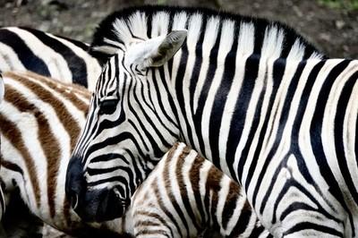 Zero In on Zebras