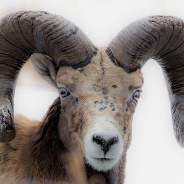 A bighorn Sheep Ram stands his ground.