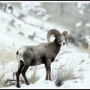 A bighorn ram standing for a picture near Kamloops B C