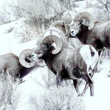 Some nice bighorn sheep found something to congregate around.